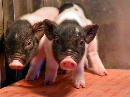Cerdos quiméricos creados con CRISPR para la producción de órganos para transplante en humanos