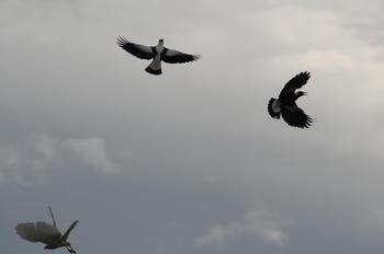 Maggies chasing away the Goshawk