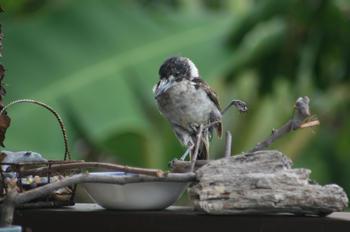 Injured baby butcherbird