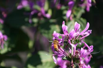 Bees love purple Salvias