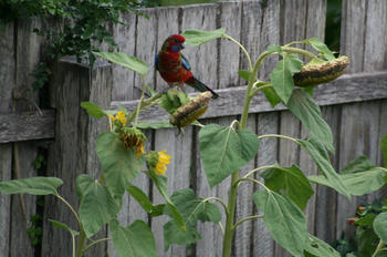 The rosella found the sunflowers