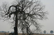 December 29 2020 Gippsland dead tree and