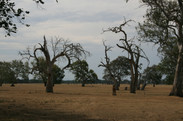 Dec 28 2020 Remnants of Gippland forests