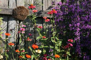 The flowers took over the vegie garden