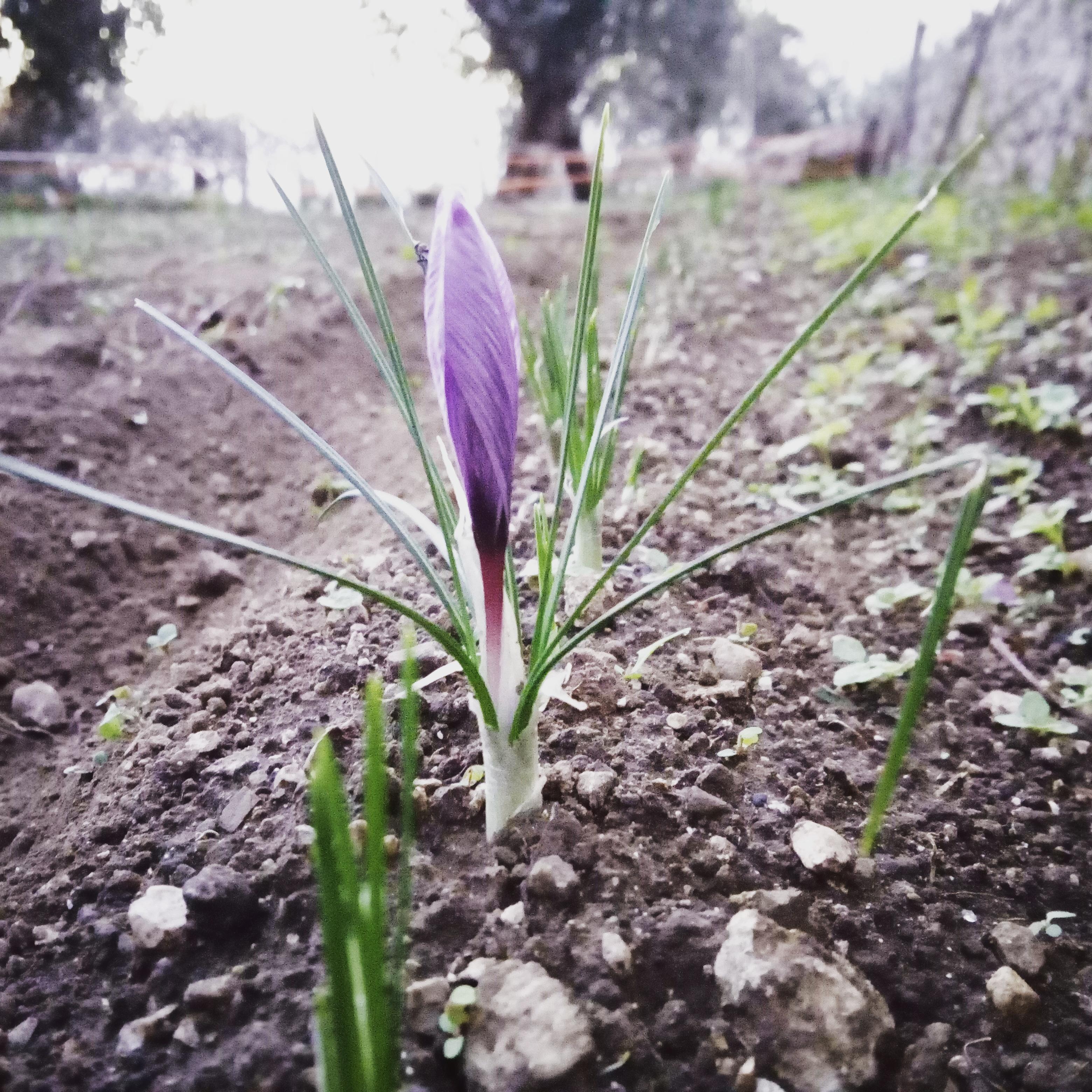 primo fiore