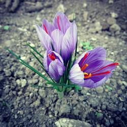 zafferano in fiore