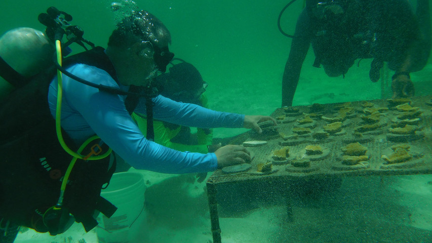 Elkhorn Divers cleaning coral tables