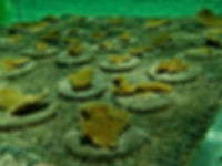 Elkhorn coral nursey to replenish reef
