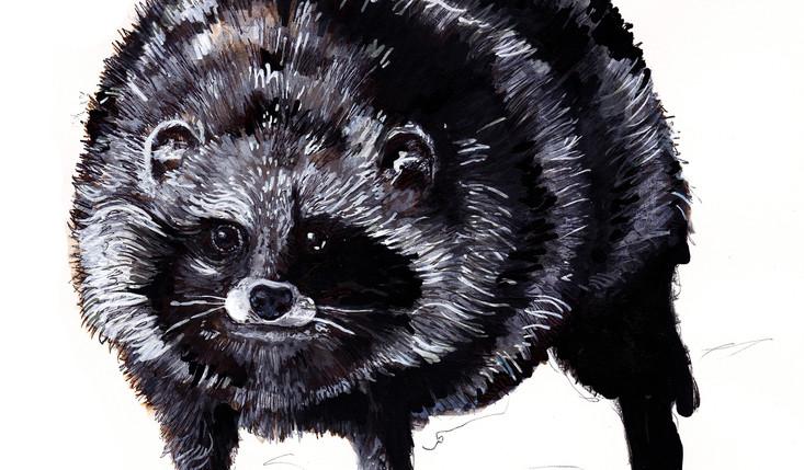 Raccoon Dog.jpg