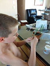 My assistant propagating lavender.jpg