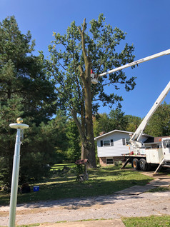 Cottonwood Removal