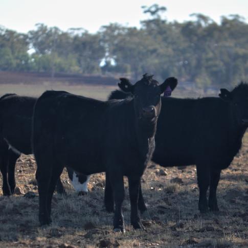Mixed Heifers