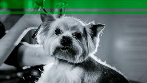 Você sabe o básico para tosar um Yorkshire Terrier?