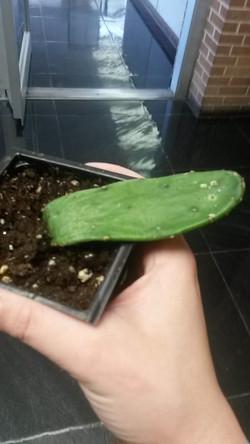 lab cactus