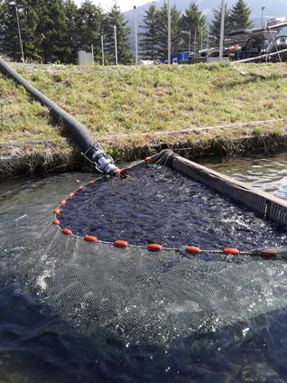 Abpumpen der Fische
