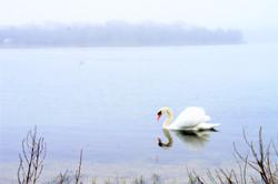 DSC07236-Swan