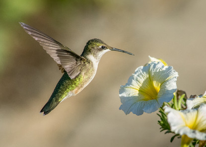 Hummingbird - Chris Split Photography