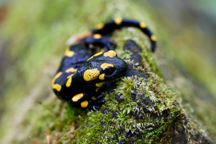 Spotted Salamander -istock photo