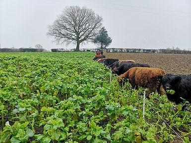 Cows grazing Kale.jpg