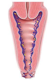 Schéma d'un flore vaginale équilibrée