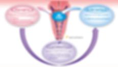 Cette image décrit le mécanisme d'action du maintient de l'équilibre de la flore vaginale