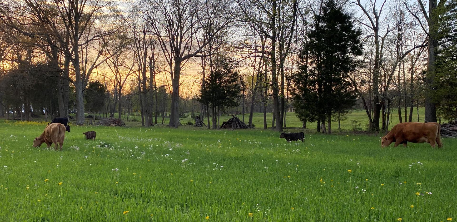 cattle grazing wheat April 2020.jpg
