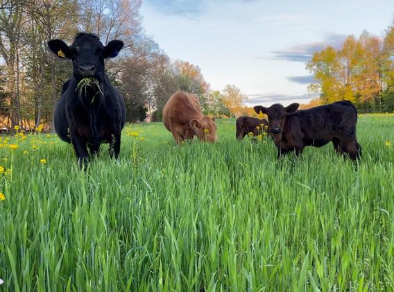 cattle grazing wheat April 2020_3.jpg