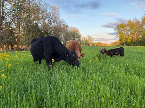 cattle grazing wheat April 2020_2.jpg