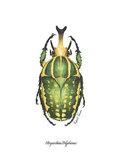 raphael chesnier scarabees mecynorhina p