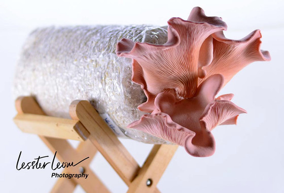 Pink Flamingo Oyster Mushroom.