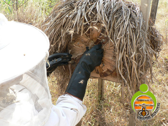 Traditional Beehive Harvesting.