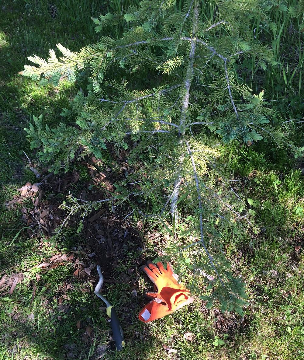 weeding overgrown trees