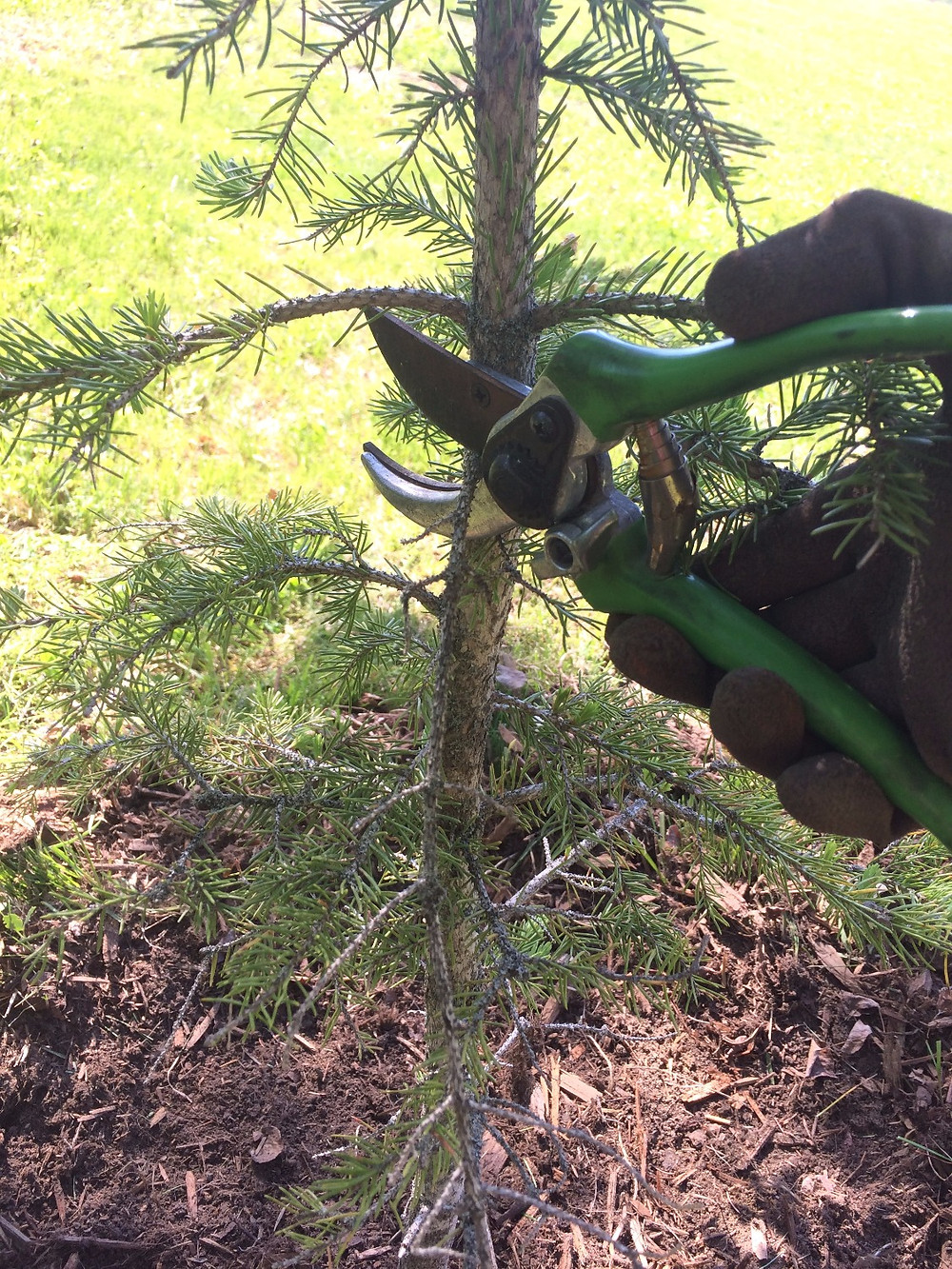 Pruning an evergreen tree