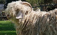 Funky Fibres Mohair sheep.jfif