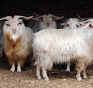 Funky Fibres Cashmere sheep.jpg