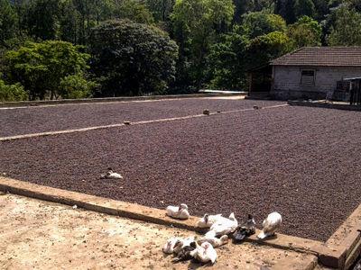 kaapi indian coffee - coffee farm