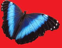 papillon brésilien.png