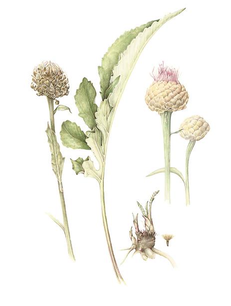 leutzia centauroides.jpg