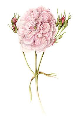 pink rose on white sm.jpg
