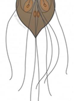 גיארדיה = Giardia lamblia