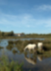 Wild White Horses, Le Camargue. © Photos by Pharos 2011