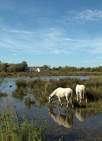 Wild White Horses, Le Camargue. © Photos by Pharos 2011
