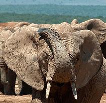 Wild elephant, Addo, S. Africa.  © Photos by Pharos 2011