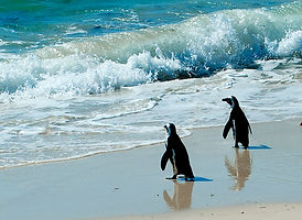 Wild African Penguins, Boulders, S. Africa. © Photos by Pharos 2011
