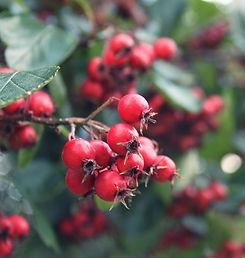 Vibrant red berries with velvet green leaves in Clissold Park, London. © Kriti Bajaj