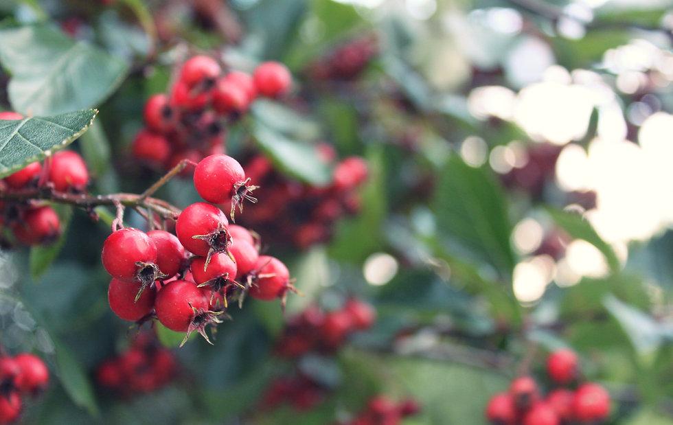 Vibrant red berries with velvet green leaves as background for writing mentorships by Kriti Bajaj