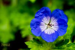 Blue Delight