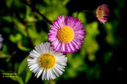 Garden Flowers-31