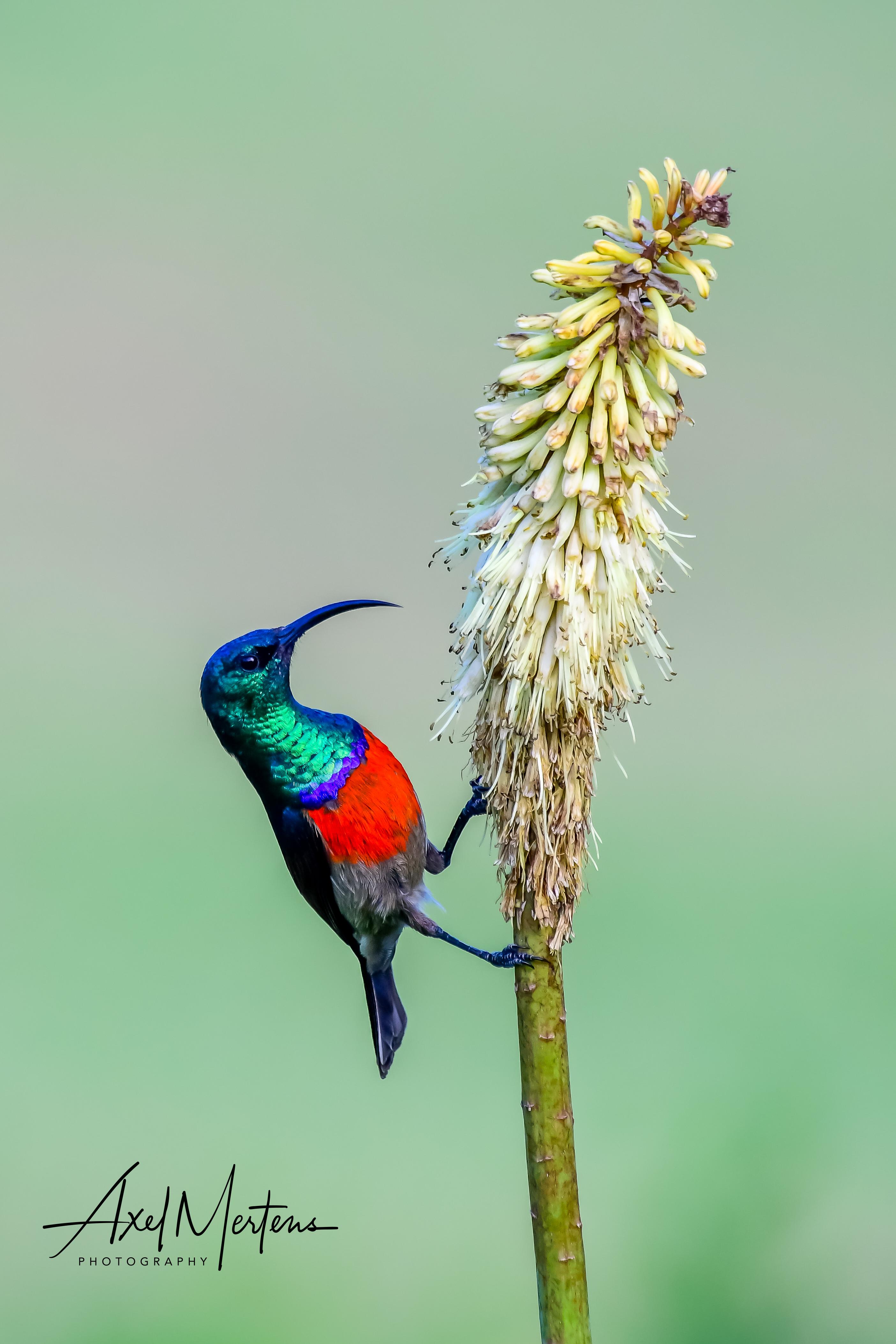 Greater Double Collard Sunbird.