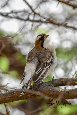 White Browed Sparrow Weaver